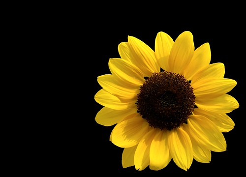 Sunflower on dark background | by natureloving