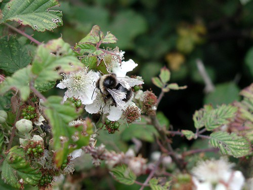 how to get rid of wild blackberry bushes