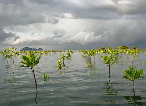 Stormy Morning Mangroves | by northways