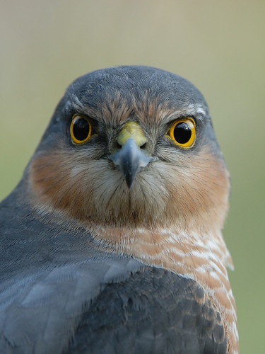 Sparrow Hawk (Accipiter nisus) | by m. geven