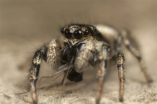 jumping spider and dinner animation by lord v