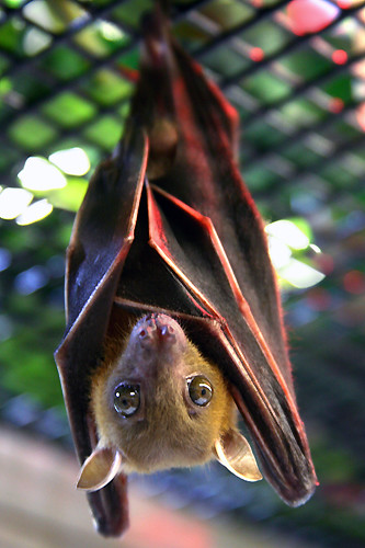 dog-faced fruit bat | by Buzz Click Photography