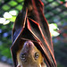 dog-faced fruit bat