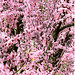 Cherry Blossoms March 07