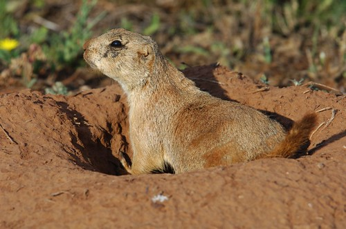 Prairie Dog 1 | by The Horned Jack Lizard