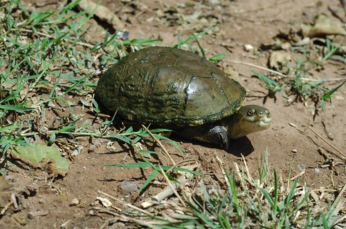 Yellow Mud Turtle | by The Horned Jack Lizard