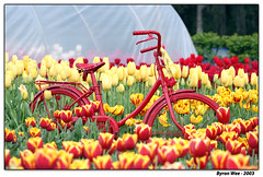 tulips n bikes | by voux
