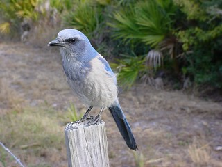 Florida Scrub Jay | by Canon-Man