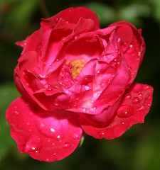 Wet rose (II) | by doozzle