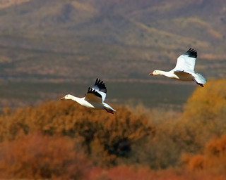 Snow Geese Fall Flight Bokeh | by Fort Photo
