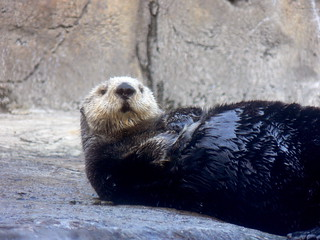 sea otter | by jumpyjodes