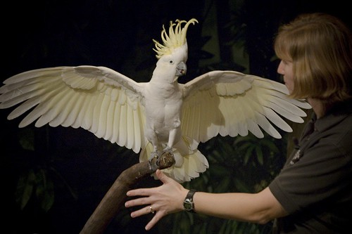 Greater Sulphur-crested Cockatoo | World of Birds Show ...