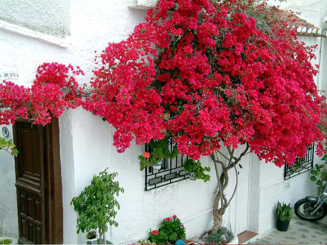 Бугенвиллия – фото цветка, уход за бугенвилией. | Любимые ...