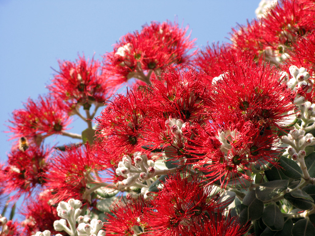 red flowers of new zealand christmas tree snapped in