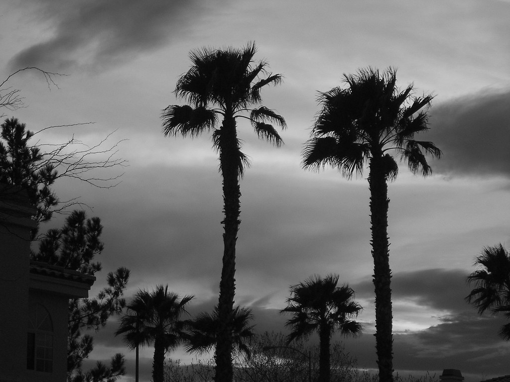 Palm Trees Black And White Palm Trees Black Amp White