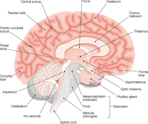 Cross Section Brain Diagram Intracranial Flickr