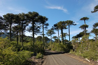 Araucaria araucana (Araucariaceae), on old (c. 100 years) lava flow, Parque Nacional Conguillio | by Tim Waters