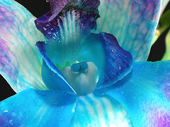 Blue Magic - FROM MY ORCHID COLLECTION | by Sayantan Sarkar - The Glamor Factory