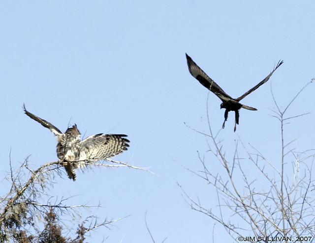Hawk vs owl - photo#14