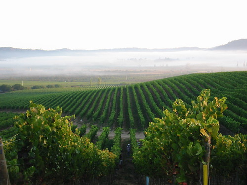 Early morning harvest with fog receding, Kingston Pinot Noir | by ramitsethi