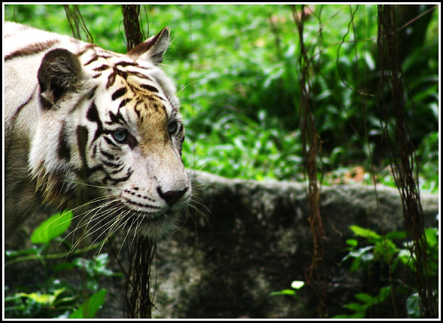 X tigers contrary to popular belief white tigers are - Show me a picture of the tiger ...