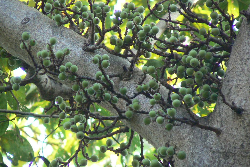 Ficus Racemosa Moraceae Mulberry Family Ficus