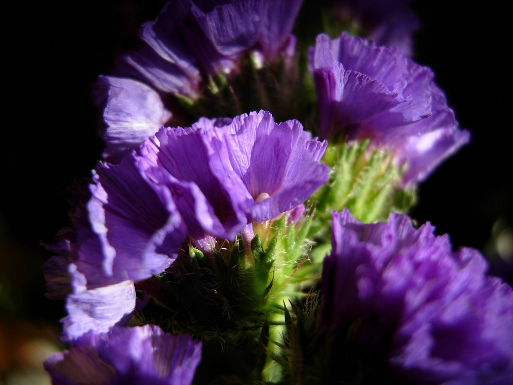 Purple Statice Flowers Fabiela