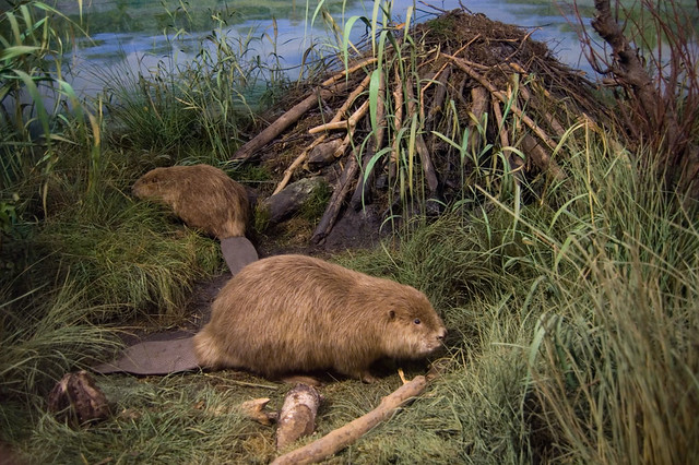 Sign Of The Beaver Diorama