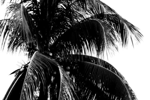 Coconut Tree In Black White