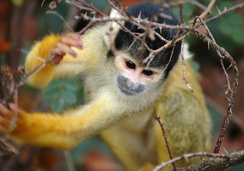 Squirrel monkey | by mape_s