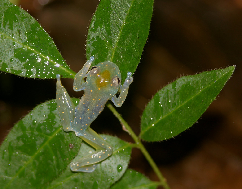 Reticulated Glass Frog