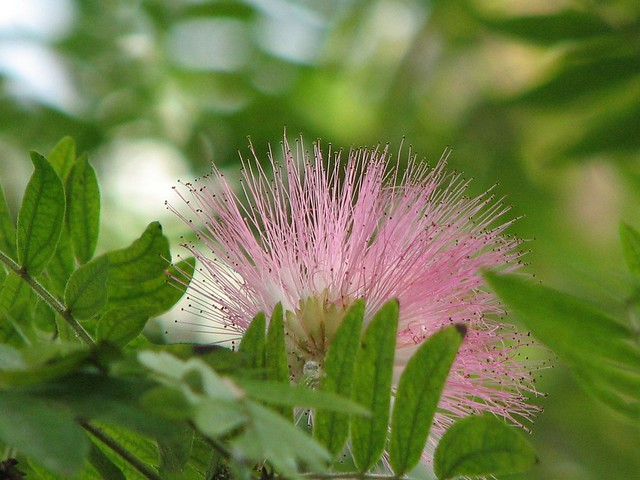 Baby pink spiky flower persian silk tree or pink siris a flickr baby pink spiky flower by angora bunny mightylinksfo