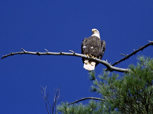Bald Eagle | by Mountain Visions