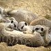 Meerkat Family Breakfast