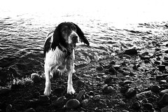 The soaking wet happy springer spaniel | by Donncha Ó Caoimh