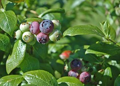blueberries-on-vine | by kitchenmage