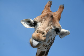 Cheeky Giraffe | by pcephotography