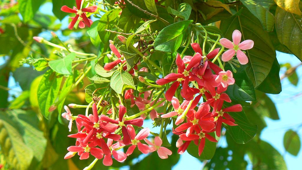 dawe hmaing common name rangoon creeper parijat manipur flickr