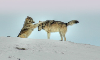 Wolves of Yellowstone | by Steven Ford / snowbasinbumps