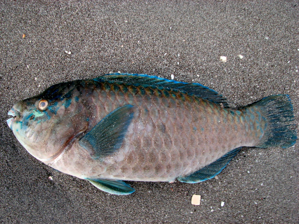 Teal parrot fish the red tide washed a variety of fish for Susan s fish and chips
