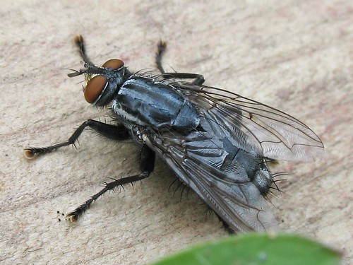 mouche sarcophage flesh fly order diptera family sarco flickr. Black Bedroom Furniture Sets. Home Design Ideas