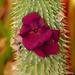 Hoodia gordonii X Hoodia pilifera hybrid flowers & buds