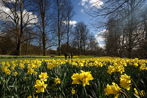 Daffodils in Nowton Park | by Andrew Stawarz