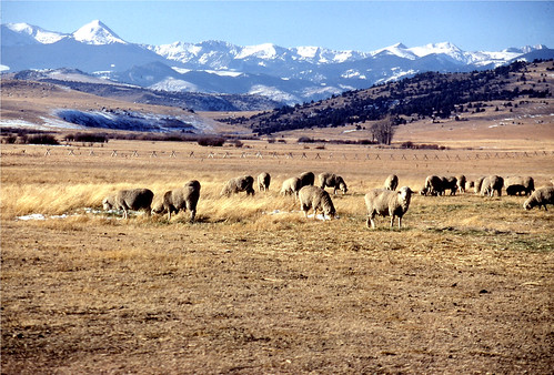 Montana sheep | by baalands
