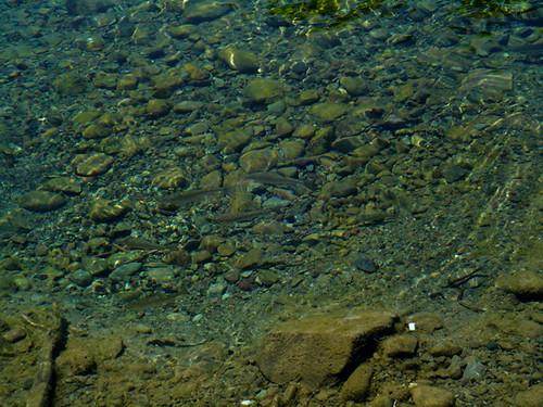 Truchas en el lago del desierto truchas j venes for Nadar contra la corriente
