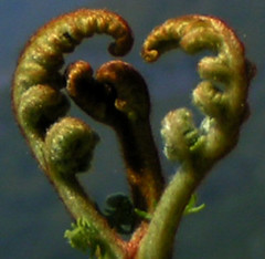 heart fern | by ChismeCait