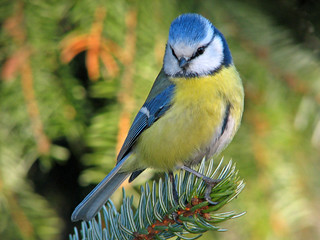 Blue tit | by Marko_K
