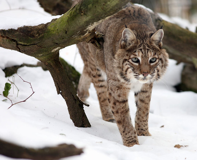 Bobcat-winter | Bobcat...