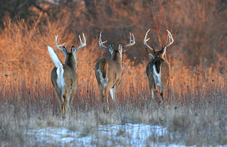 White Tails In The Sunset | by Hard-Rain