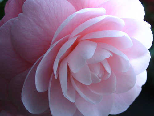 pink camellia | by kiki the cat